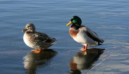 image of ducks illustrating duck sex